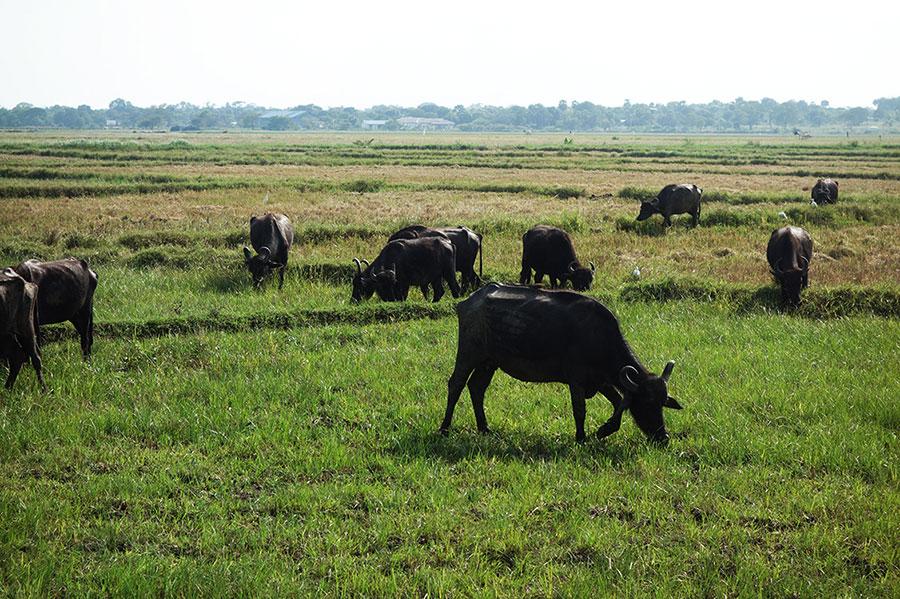 bufalos-safari-sri-lanka