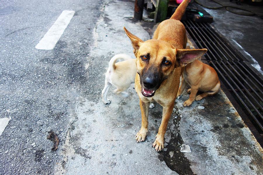 perro-malasia