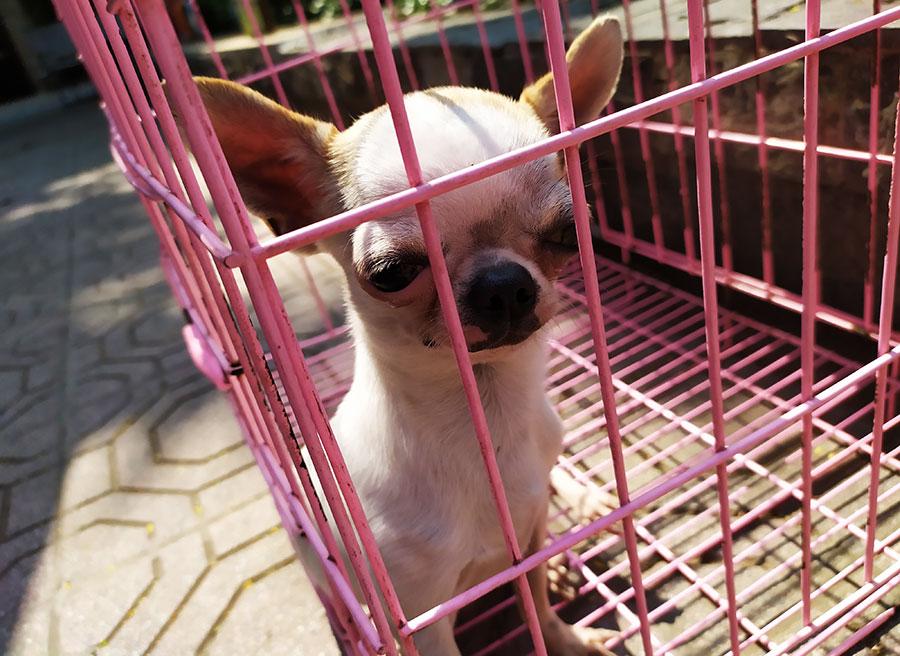 curiosidades de vietnam perro