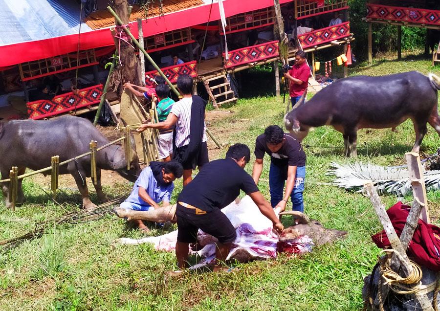 matanza-bufalos