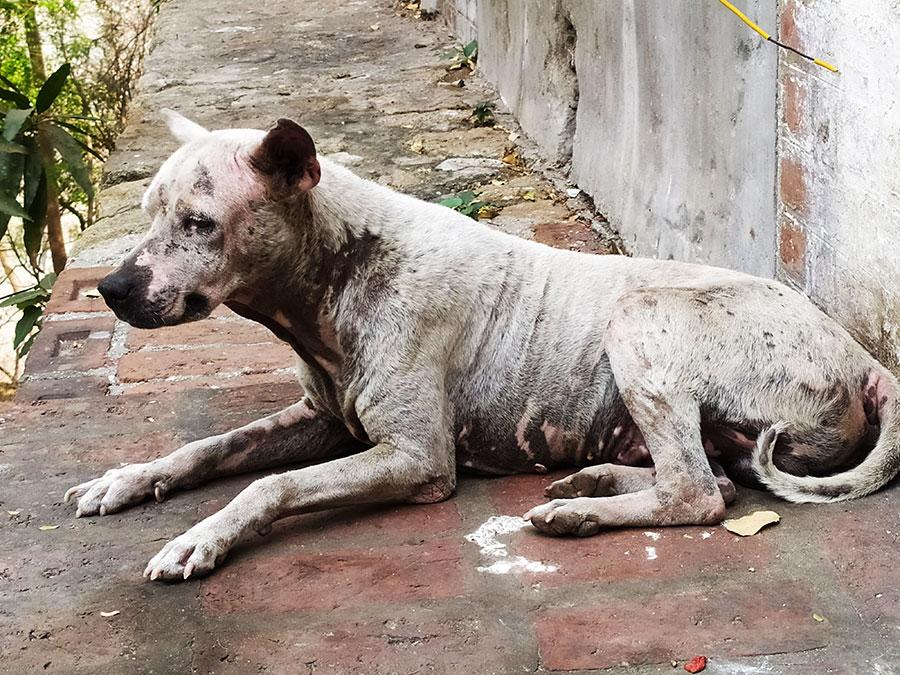 perro-birmania